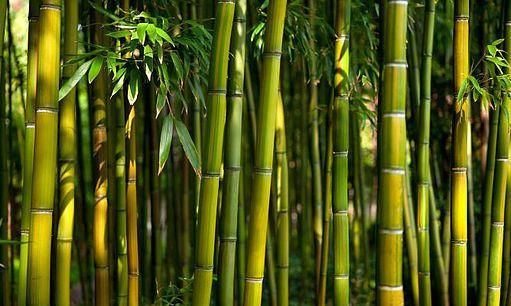Bambu: O Aço Vegetal